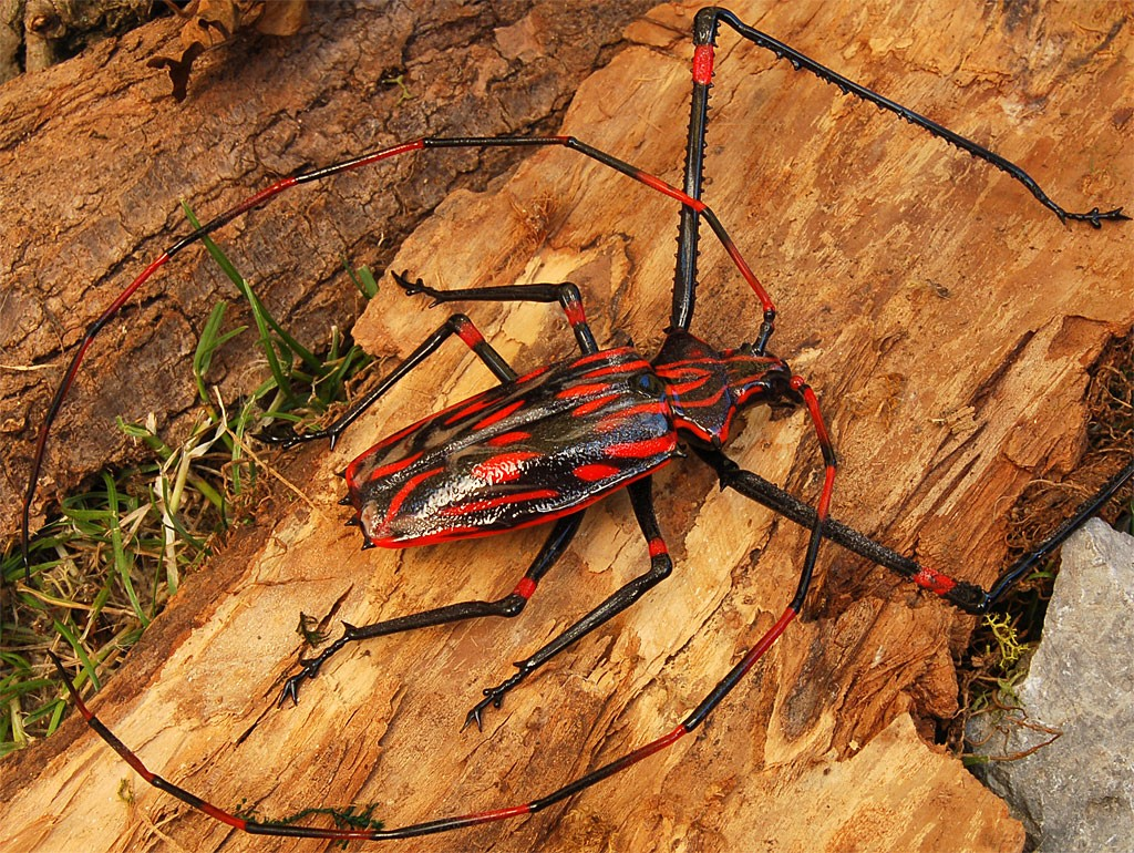 ビットリオ・コスタンティーニ フィギュリン カミキリムシ ( Vittorio Costantini Figurine Coleoptera Cerambycidae )